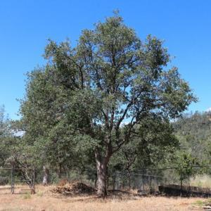 Blue Oak - common foothill species in California