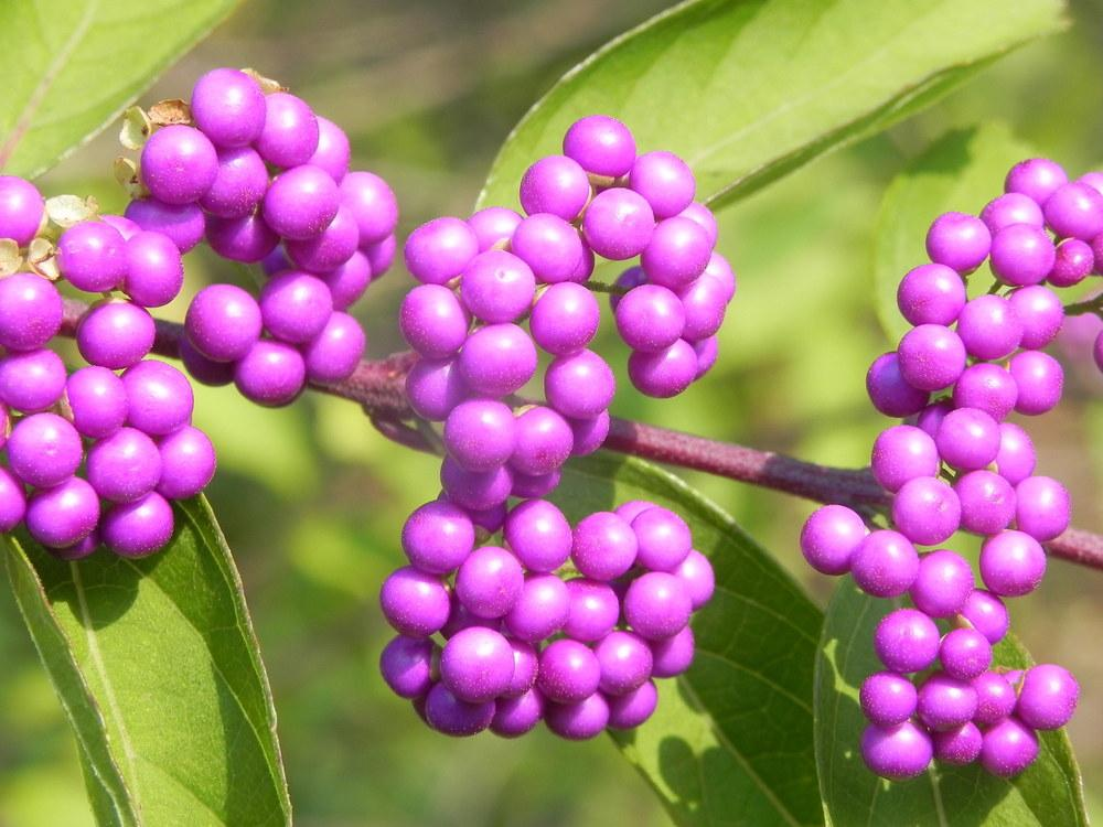 Photo of Beautyberry (Callicarpa dichotoma 'Issai') uploaded by SL_gardener