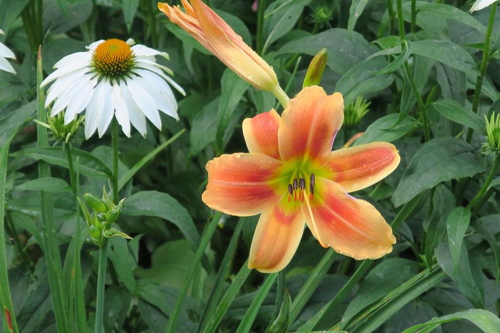Photo of Daylily (Hemerocallis 'Novelty Number') uploaded by 2Dogsmother