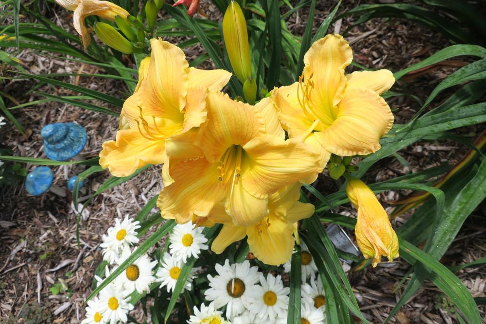 Photo of Daylily (Hemerocallis 'Circus Lion') uploaded by 2Dogsmother