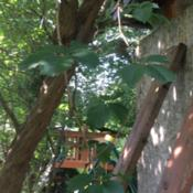 Date: 2019-07-21Hanging vine growing over an old lilac bush