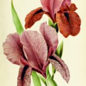 Location: Iris 'Artemis' bottom left and Iris 'Isis' top rightDate: c. 1910illustration by J. Guillot from 'Revue horticole', 1910