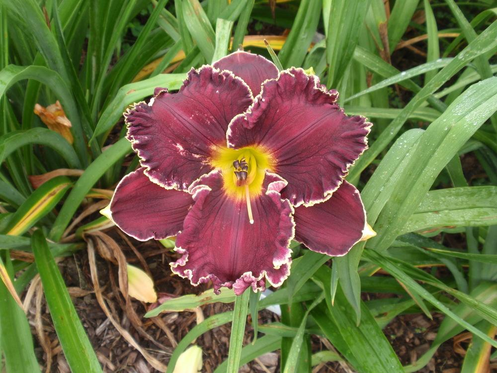 Photo of Daylily (Hemerocallis 'Buddy's Black Lady') uploaded by Bedmaker