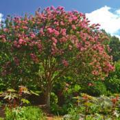 Location: Botanical Gardens of the State of Georgia...Athens, GaDate: 2019-07-21Crepe Myrtle - Lagerstroemia indica 006