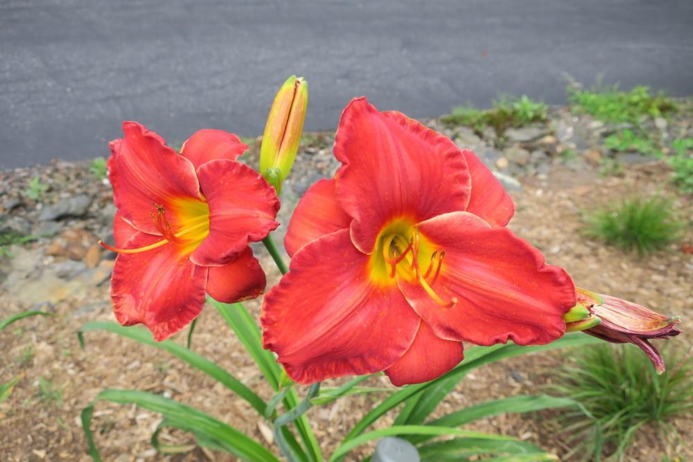 Photo of Daylily (Hemerocallis 'Sun Dried Tomatoes') uploaded by 2Dogsmother