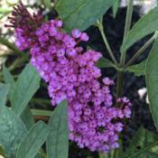 Location: My garden, Willow Valley Communities, Lakes Campus, Willow Street, Pennsylvania USADate: 2019-07-27