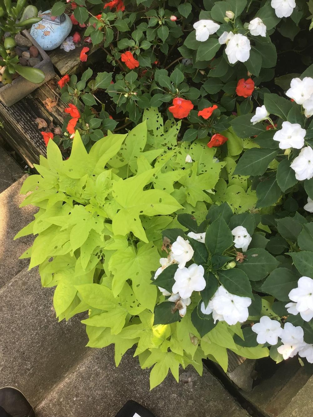 Pests And Diseases Forum My Sweet Potato Vines Are Now Swiss Cheese Vines Garden Org