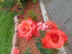Thumb of 2019-08-01/Weluvroses/018a2c