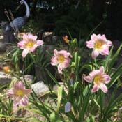 Location: My garden in Bakersfield, CADate: 2019-06-10