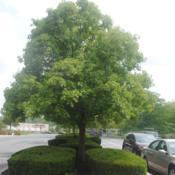 Location: Downingtown, PennsylvaniaDate: 2019-08-02mature parking lot tree