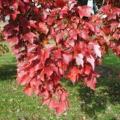 Location: Reading, PennsylvaniaDate: 2010-11-06leaves in fall color