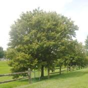 Location: Downingtown, PennsylvaniaDate: 2019-08-02mature tree in landscape