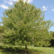 Location: Wayne, PennsylvaniaDate: 2010-08-26maturing tree in lawn