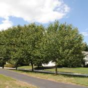 Location: Wayne, PennsylvaniaDate: 2010-08-26line of street trees