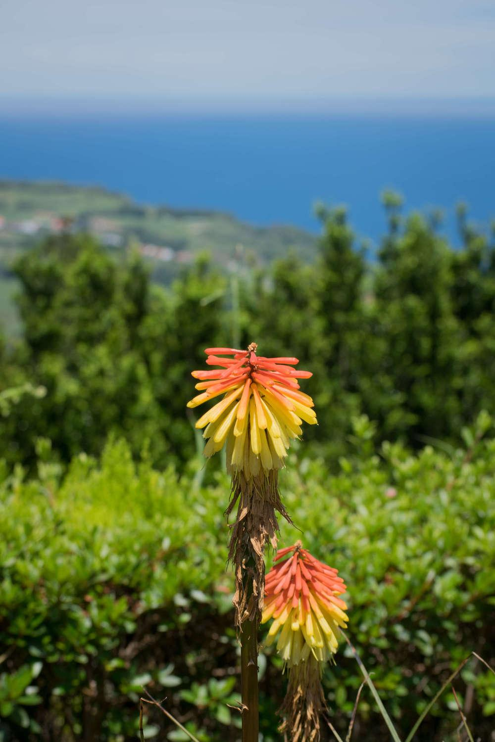 Photo of Red Hot Poker (Kniphofia uvaria) uploaded by pedron