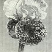 Date: c. 1902illustration from 'Revue horticole', 1902