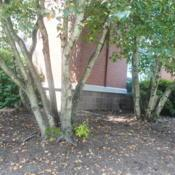 Location: Thorndale, PennsylvaniaDate: 2019-08-07two trees at office building foundation