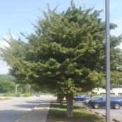 Location: Thorndale, PennsylvaniaDate: 2019-08-07full-grown tree in parkway