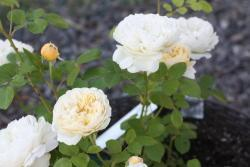Thumb of 2019-08-09/Canadian_Rose/483edf