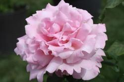 Thumb of 2019-08-09/Canadian_Rose/7e68b4