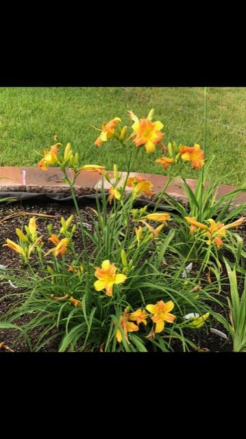 Photo of Daylily (Hemerocallis EveryDaylily® Yellow Punch) uploaded by LovinFlowers