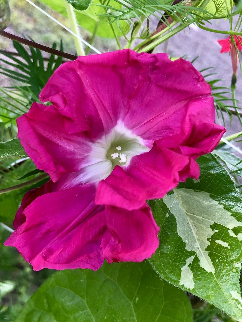 Photo of Japanese Morning Glory (Ipomoea nil 'Kurenai') uploaded by 62latour