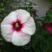 Location: My Yard, zone 6aDate: 2010-08-01