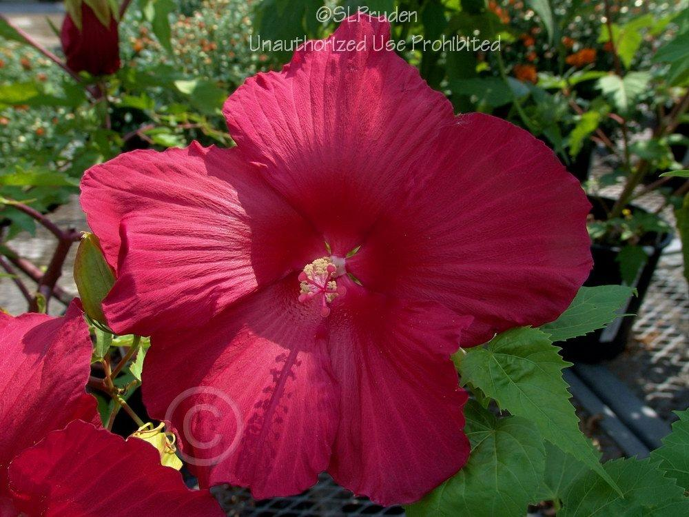 Photo of Hybrid Hardy Hibiscus (Hibiscus 'Lord Baltimore') uploaded by DaylilySLP