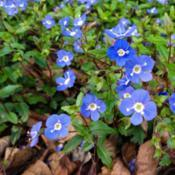 Location: Northern California, Zone 9bDate: 2012-03-22Each spring I look forward to seeing the cheery blue fl