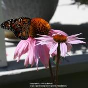 Location: My Garden, Ontario, CanadaDate: 2019-08-04Monarch butterfly enjoying the purple coneflower in my