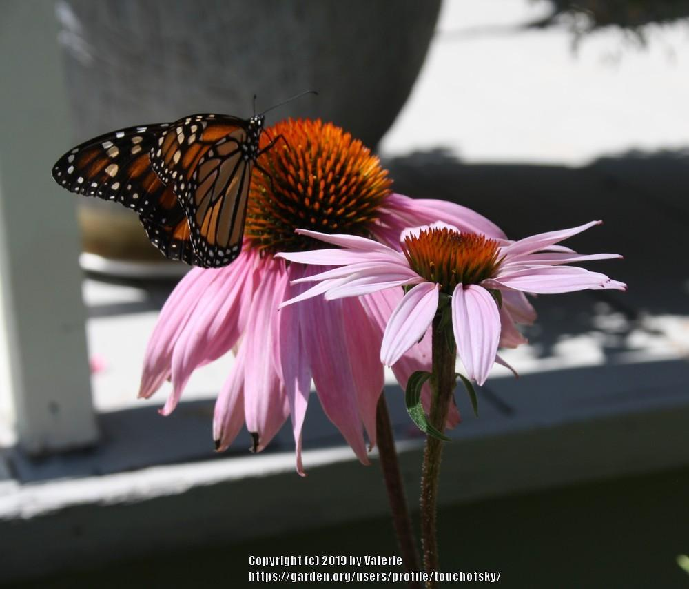 Photo of Purple Coneflower (Echinacea purpurea) uploaded by touchofsky