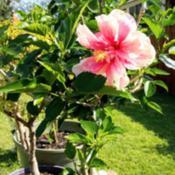Location: ElkhartDate: 2019-08-08MysteryHibiscus