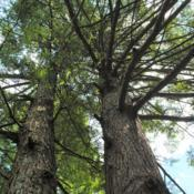 Location: Halifax, PennsylvaniaDate: 2019-08-09looking up full-grown tree trunks