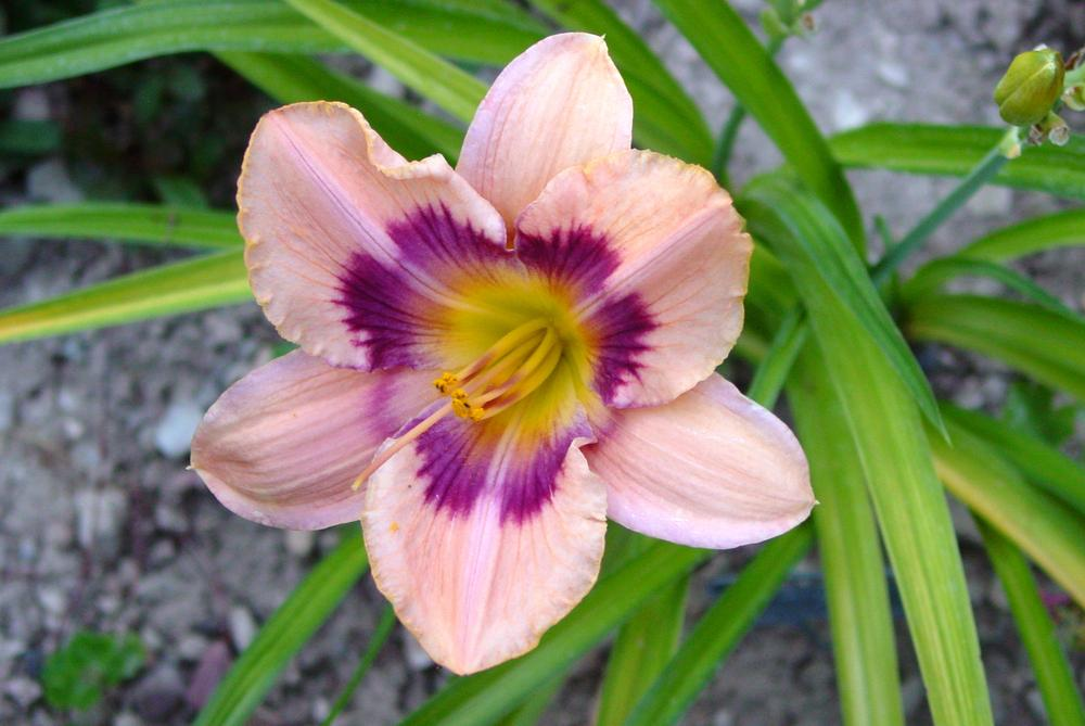 Photo of Daylily (Hemerocallis 'Paper Butterfly') uploaded by MaryDurtschi