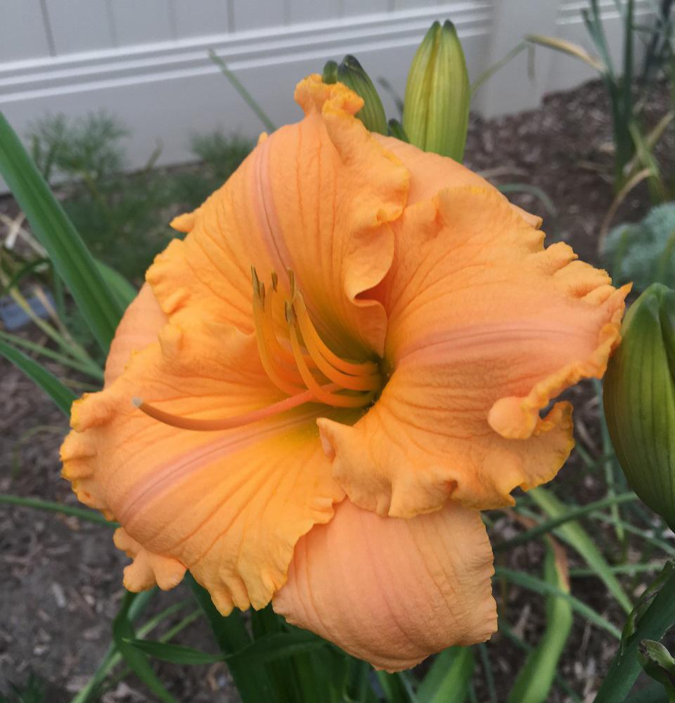 Photo of Daylily (Hemerocallis 'Pure and Simple') uploaded by MaryDurtschi
