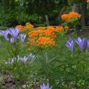 Location: St LouisDate: 2015-06-13blooms coincidently with Asclepius tuberosa