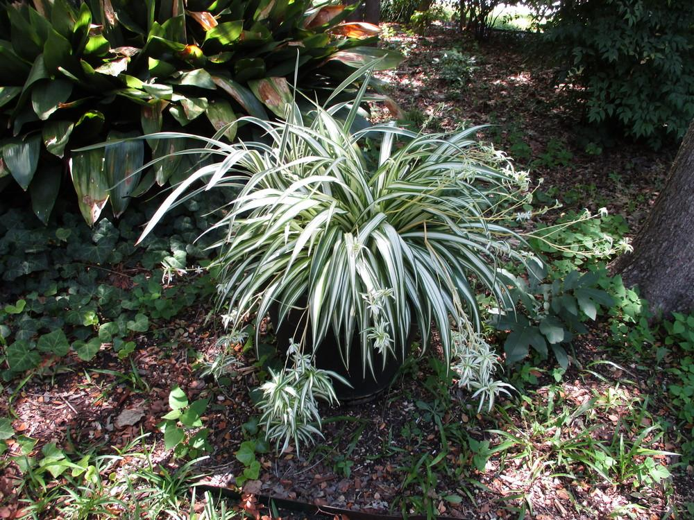 Photo of Spider Plant (Chlorophytum comosum) uploaded by Peggy8b