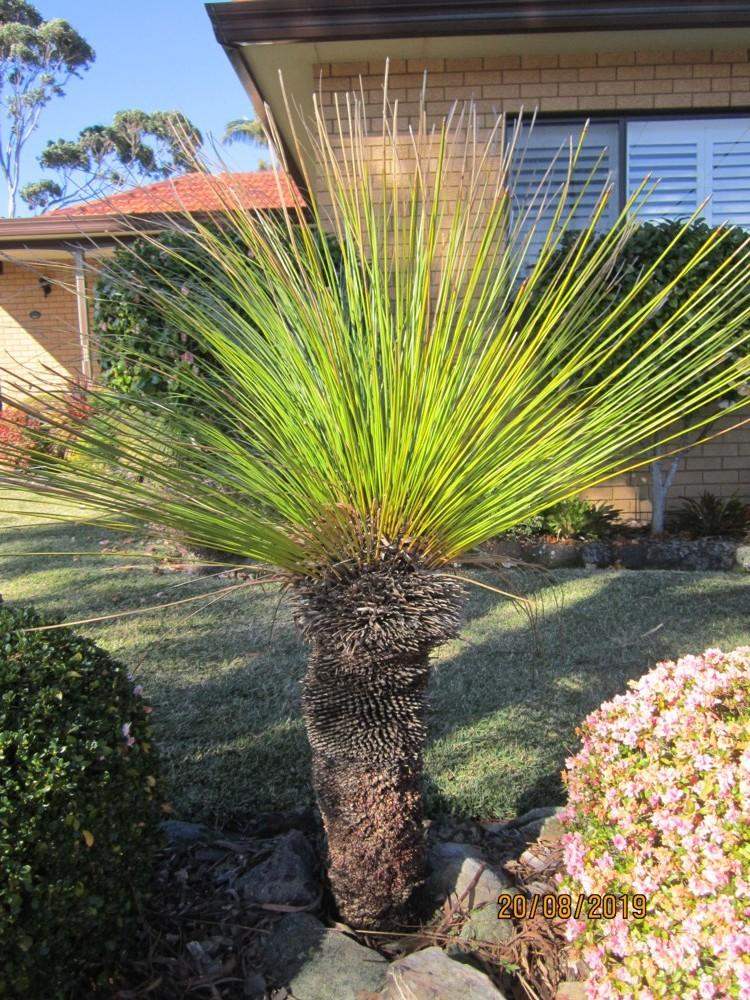 Photo of the entire plant of Grasstree (Xanthorrhoea