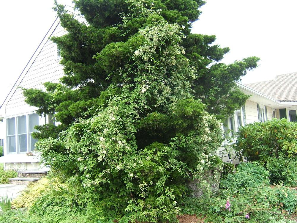 Photo of American Virgin's Bower (Clematis virginiana) uploaded by pirl