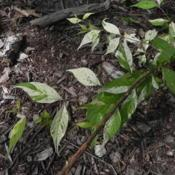 Location: St LouisDate: 2014-06-28selection with variegated leaves