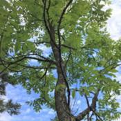 Location: West Virginia, from Lonnie Murray in VirginiaDate: 2019-06-15looking up trunk to crown