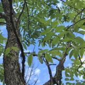 Location: West Virginia, from Lonnie Murray in VirginiaDate: 2019-06-15closer look at trunk and leaves