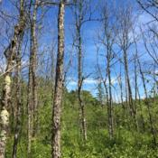 Location: West Virginia, from Lonnie Murray in VirginiaDate: June 15th 2019dying trees in swamp from Emerald Ash Borer