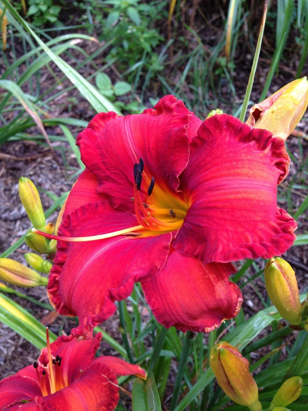 Photo of Daylily (Hemerocallis 'Apache War Dance') uploaded by hillbilly