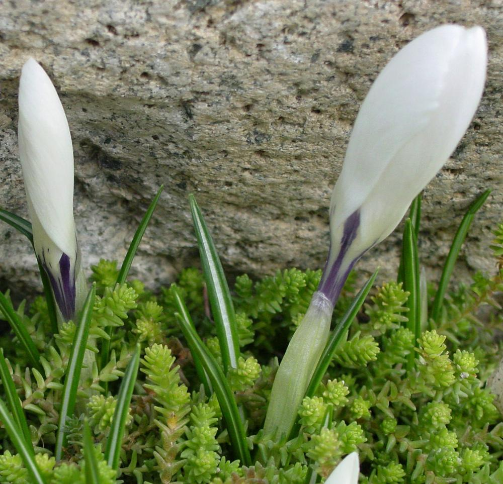 Photo of Dutch Crocus (Crocus vernus 'Jeanne d'Arc') uploaded by MaryDurtschi