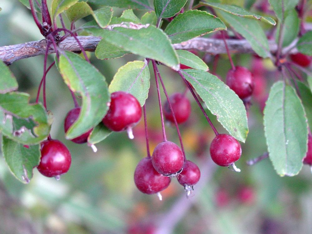 Photo of Crabapple (Malus 'Prairie Fire') uploaded by MaryDurtschi