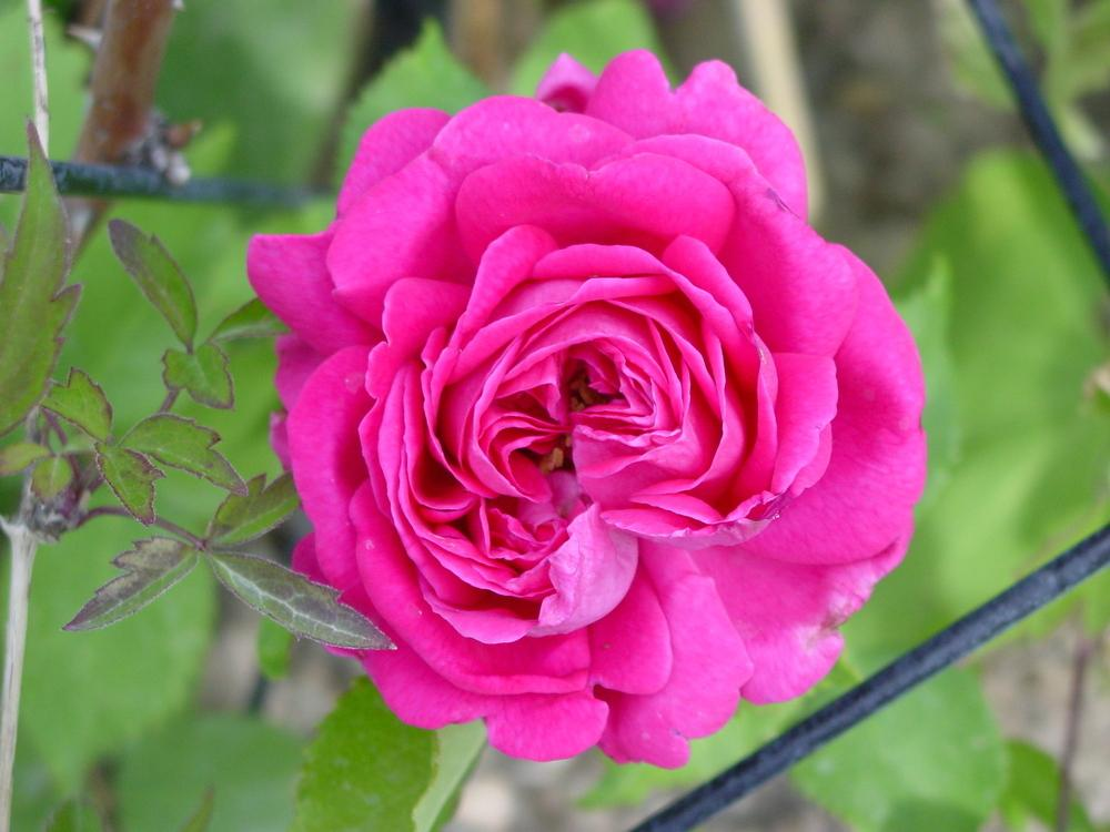 Photo of Rose (Rosa 'Madame Isaac Pereire') uploaded by MaryDurtschi