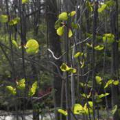 Location: St LouisDate: 2015-04-07Spring foliage is bright green along the pendulous stems