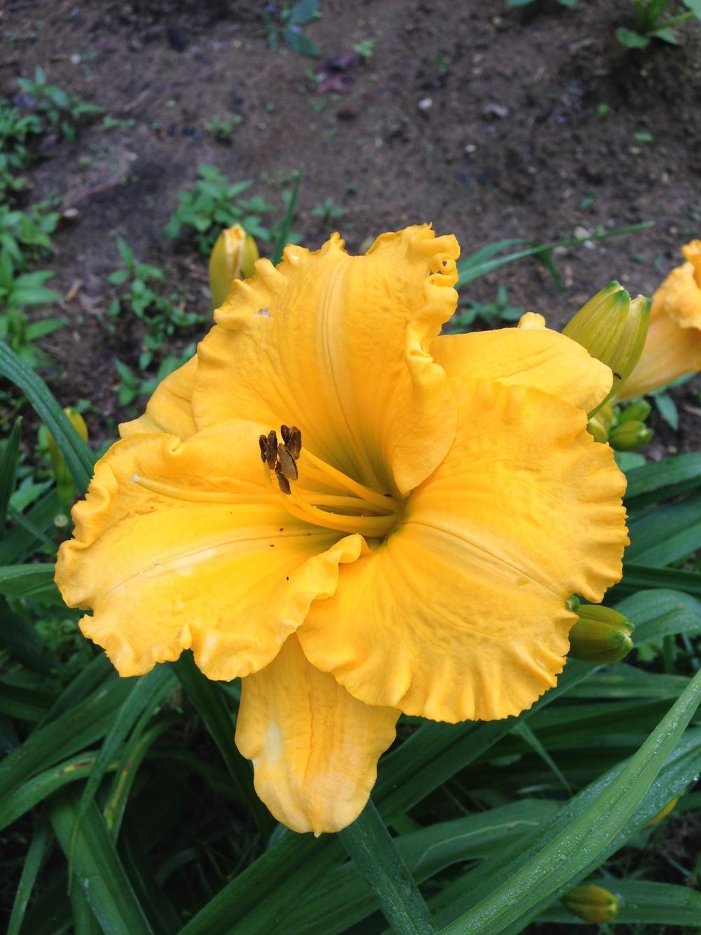 Photo of Daylily (Hemerocallis 'Great Goodness Gracious') uploaded by hillbilly