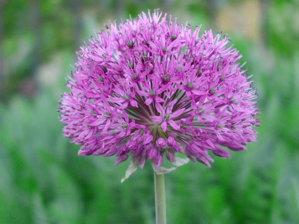 Photo of Flowering Onion (Allium 'Purple Sensation') uploaded by MaryDurtschi